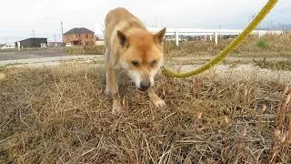 山陰柴犬もみじが土筆を食べます。
