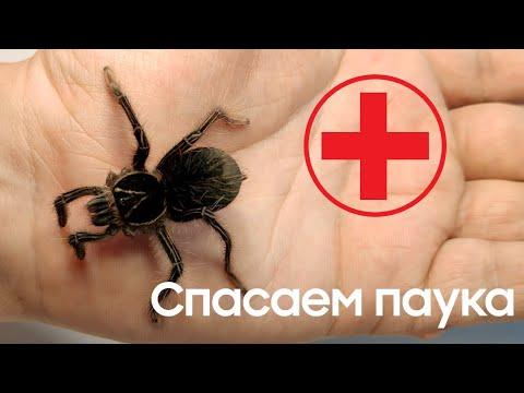Спасаем самку паука птицееда Theraphosa apophysis