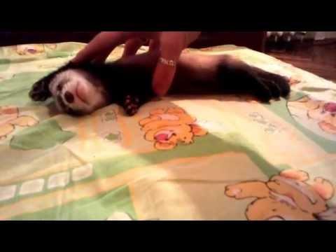 Видео прикол: хорек это безумно активное животное
