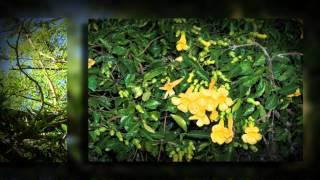 Бигнония кошачий коготь (Bignonia unguiscati)