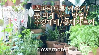 스파티필름 꽃피게 하는 방법/ 꽃대자르기/수경재배/ 스파트필름 키우기