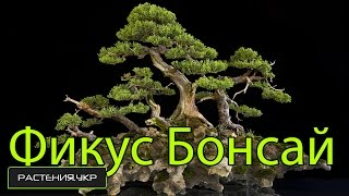 Дерево Бонсай / Фикус Микрокарпа уход и полив в домашних условиях