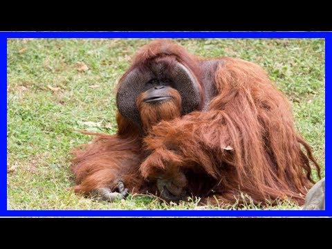 U.s. orangutan chantek,' the ape who went to college,' dies at 39