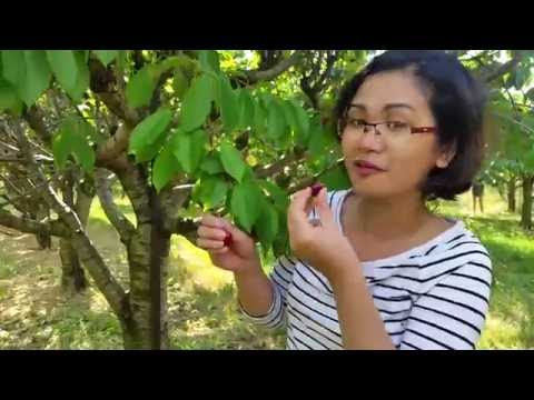 Cherry Picking in Western New York 2016