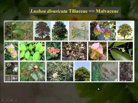 Malvaceae, Rutaceae e Meliaceae