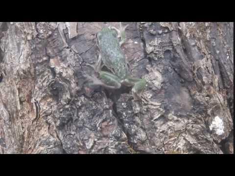 木を登るヨーロッパアマガエル European tree frog 2015 1111