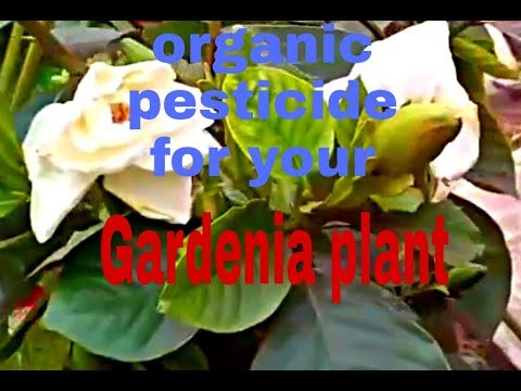 Organic pesticide for your Gardenia/ Gandhraj plant (Hindi)