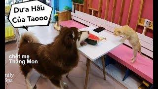 Để đồ ăn thử lòng Mật và phản ứng chết cười khi có trộm - Mật Pet Family