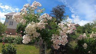 Цветение штамбов роз первого года