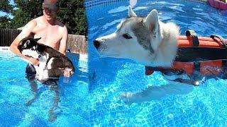 huskies-swimming-in-their-own-pool