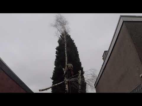 Birkenfällung Mit Der Seilklettertechnik