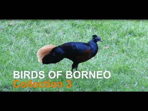 BIRDS OF BORNEO Collection 3 - BIRDING VIDEO WITH CANON SX60HS
