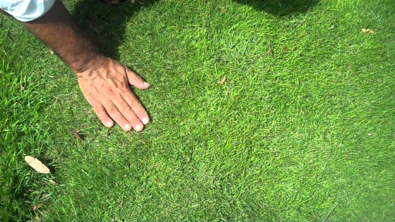 Empire Vs Emerald Zoysia Grass Youtube