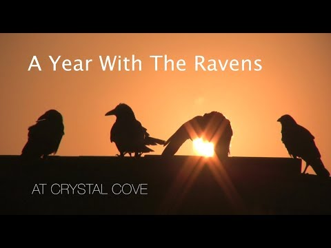 A Year With The Ravens at Crystal Cove