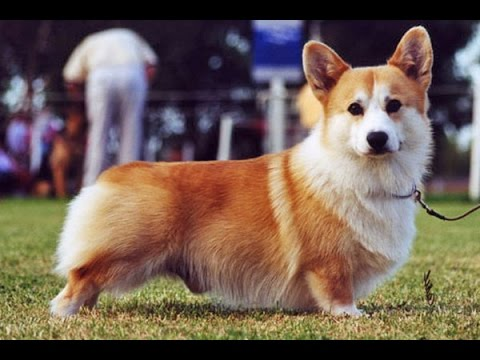 Welsh Corgi Pembroke  Dog History, Personality, Health, Care