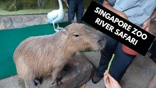 SINGAPORE ZOO RIVER SAFARI I Travel vlog