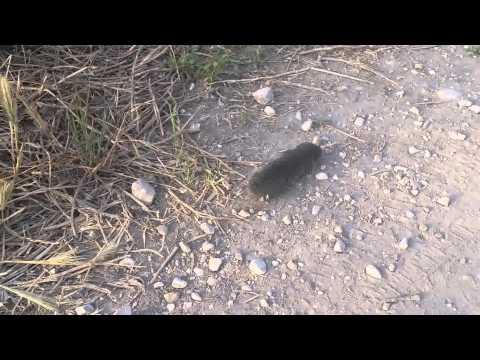 Spalax (Middle East blind mole-rat) GOING WILD    חולד ארצישראלי
