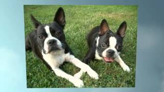 House Training A Boston Terrier Puppy