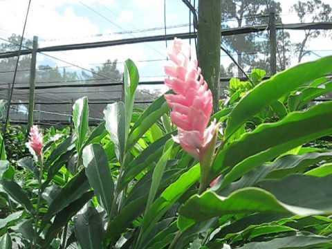 "Alpinia Purpurata ""Tomi"" or ""Tomi Pink"""