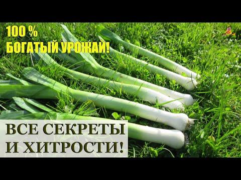 Как вырастить лук ПОРЕЙ / Посев, рассада, уход, удобрения, сбор урожая и хранение