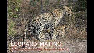 LEOPARD  MATING - Ngala Safari Lodge - Timbavati Private Game Reserve - Kruger National Park