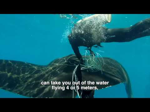 Video Of The Week | Giant manta rescue in Costa Rica / Rescate de manta gigante en Costa Rica
