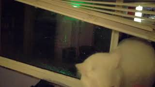 Ramses the neighborhood cat enters my bedroom window, starts a fight, leaves(3)