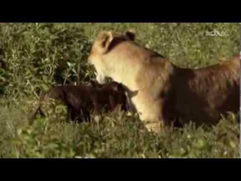 Sauvée par la lionne - Survivante - VF