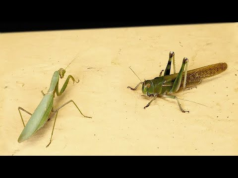 WHAT IF A HUNGRY MANTIS SEES A HUGE LOCUST? - INSECT VERSUS!