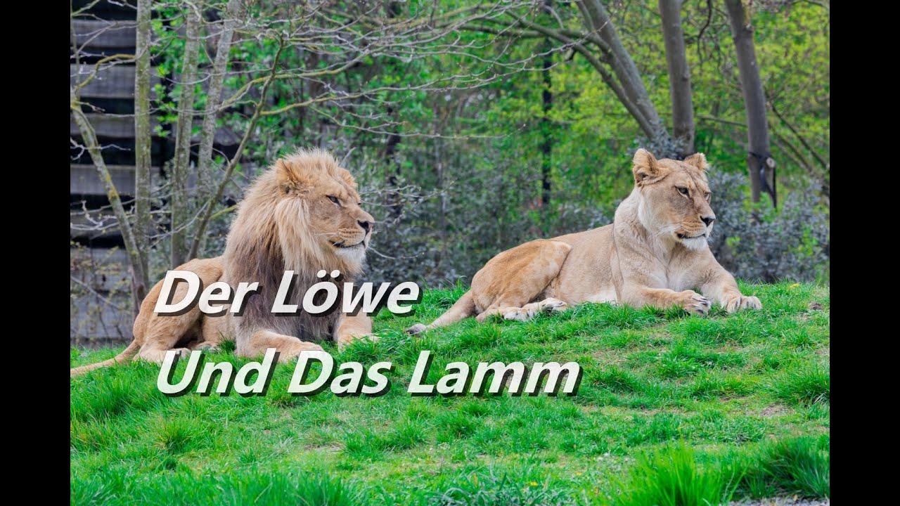 Der Löwe Und Das Lamm