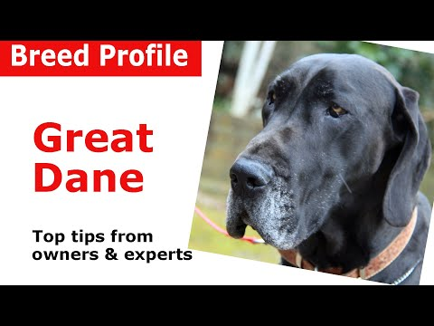Great Dane dog breed guide