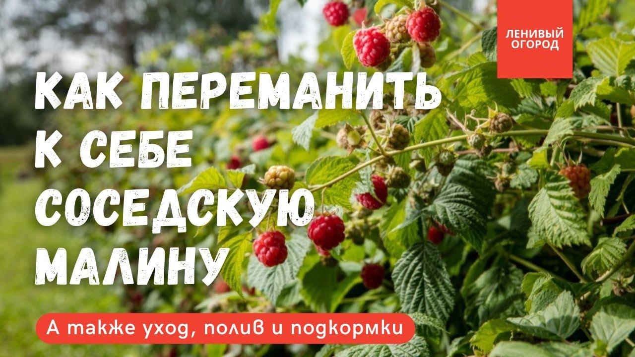 Обрезка малины осенью | 3 необходимые подкормки малине | Уход и подвязка малины |Как посадить малину