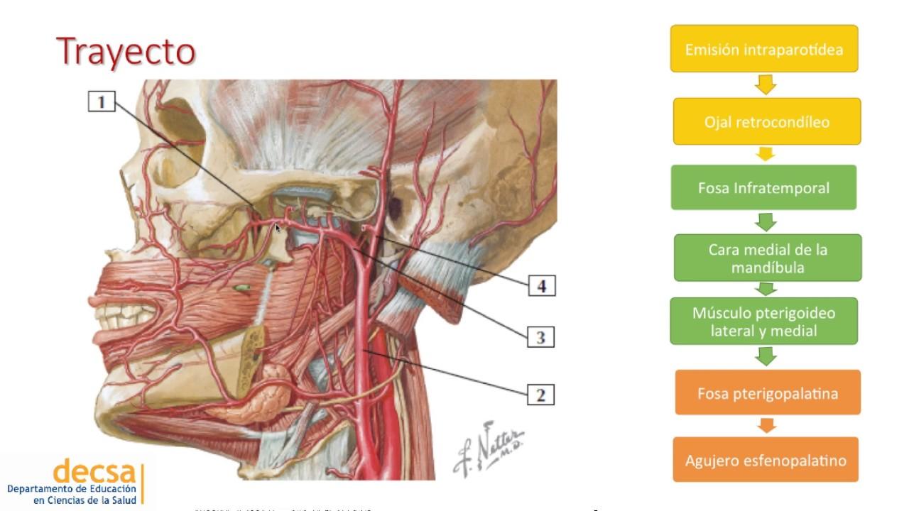 Excepcional Anatomía Arteria Maxilar Adorno - Imágenes de Anatomía ...