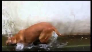 Собака уснула стоя,решив что она лошадь на водопое.Ахаха