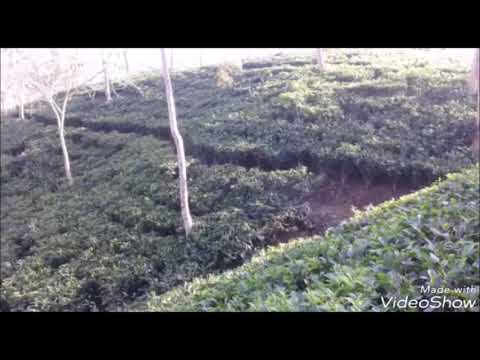 Goombira & SINGLACHORA & Chargola Tea Estate. With Bangla. New video.