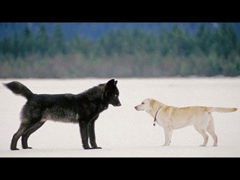 He Watched Helplessly As A Wild Wolf Approached His Dog. Then Something Incredible Happened.