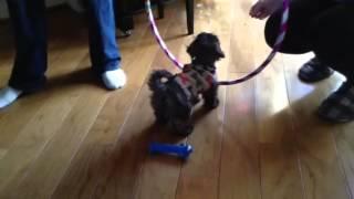 Lhasa Apso Poodle Mix