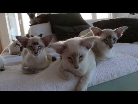 Litter Z2, balinese kittens 13 weeks