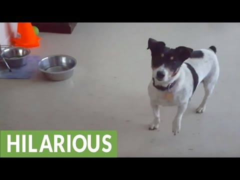 Dog denied treat, hilariously walks away in defeat