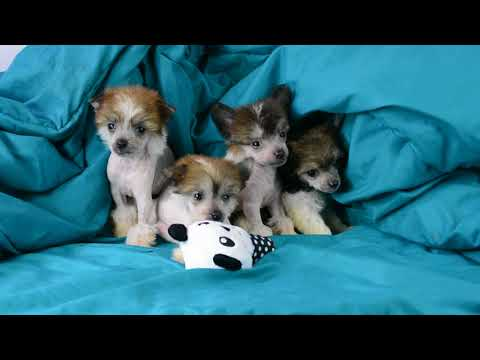 Hairless and powderpuff Chinese Crested puppies part 1 6 5