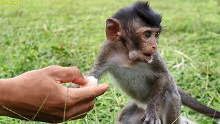 Wow what a lovely Leo!, very cool baby monkey Leo eating food, Leo the cutest baby monkey ever