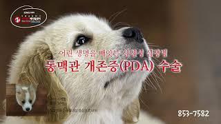 선천성 심장병, 동맥관개존증(PDA)수술_수술전문 동물…