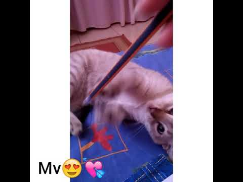 قطي الجديد 😍 mn nv chat  💓 siamois