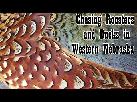 Western Nebraska Pheasant and Duck Hunt | Nebraska Public Land Pheasant and Duck Hunt 2017