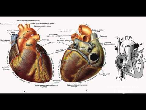 Анатомия в картинках Атлас анатомии человека онлайн