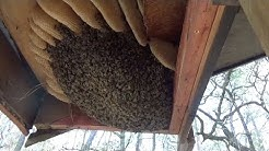 Honey bee removal and relocation
