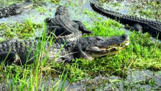 "Alligator Ordered ""side Salad And Chicken Fingers"" (everglades)"