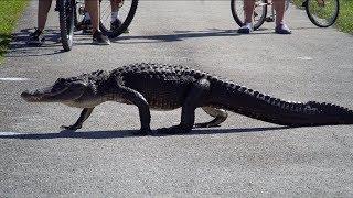 Une piste cyclable avec une tonne d'alligators! - Everglades National Park