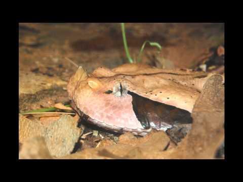 Gabon Viper - Bitis gabonica