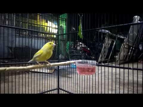 Terapi Burung Kenari CUIT CUIT Supaya Rajin Bunyi,,AMPUH